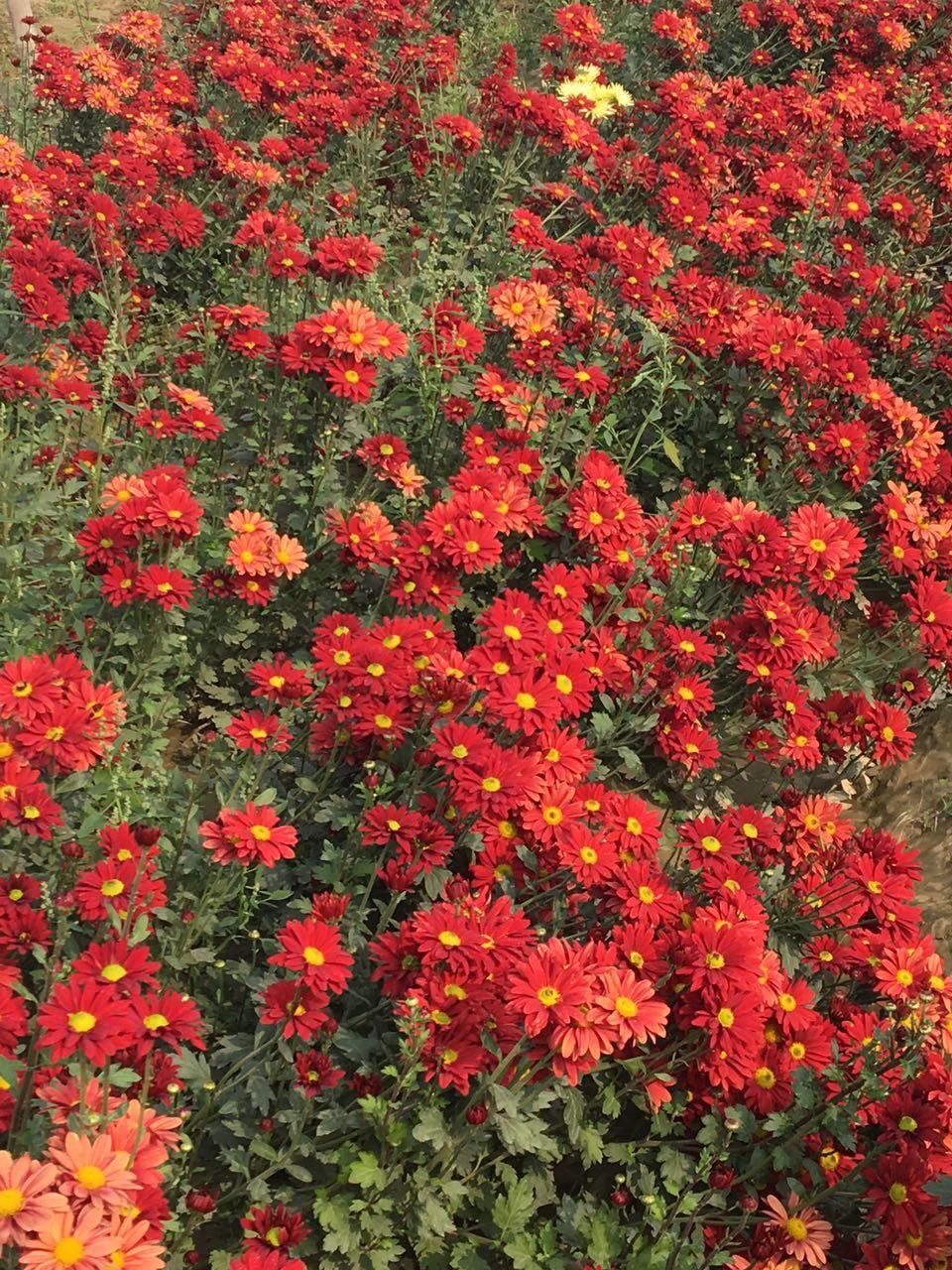 Nanil Chaudhary| Story| Flower Farm| Gladiolus| Chrysanthemum